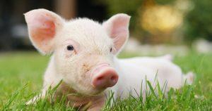 Schweinefleisch (Foto: Adobe Stock)