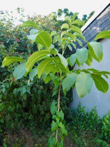 Waltraud, der Walnussbaum