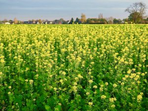 Glyphosat auf den Feldern und auf unseren Tellern