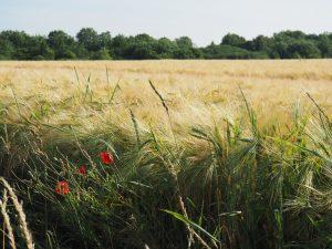 Glyphosat auch auf unseren Feldern?
