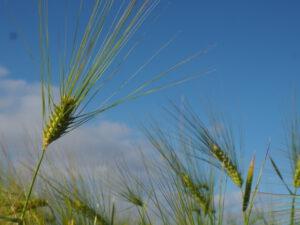 Gerstengrassaft - Tierfutter oder Superfood?