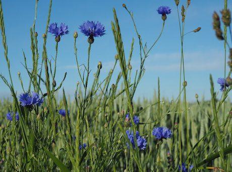 Heuschnupfen - Klimawandel verlängert Pollensaison
